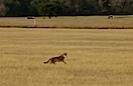 Giant Coyote
