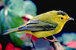 yellow-bird_1706.jpg
