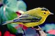 yellow-bird_1706.jpg