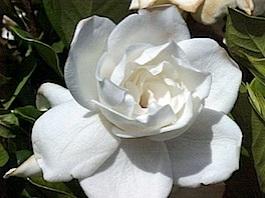 gardenia01.jpg