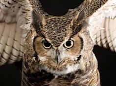great-horned-owl_773_600x450.jpg