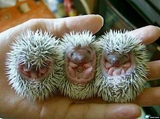 porcupine-baby.jpg