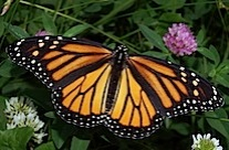 Monarch_In_May.jpg